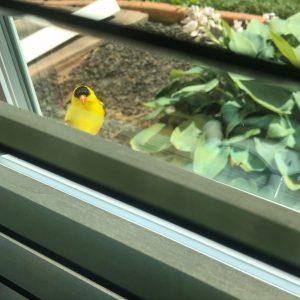 goldenfinch bird outside on the windowsill